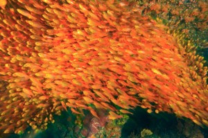 plenty-of-fish