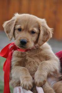 golden-puppy-hate